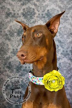 Beautiful Dog Models :) sweet #doberman in her #dogcollar and flower