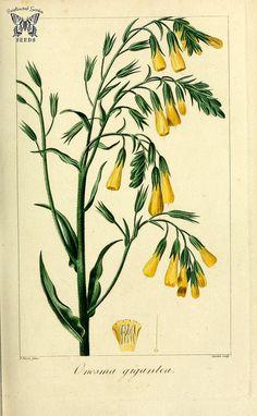Onossma giganteum. Herbier général de l'amateur, vol. 8 … | Flickr