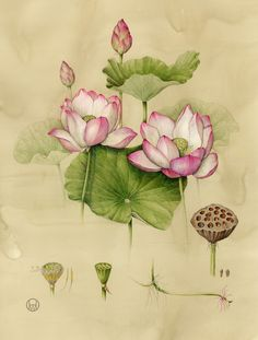 Sacred Lotus - Collection of botanical illustrations of flowers by Wendy Hollender. Illustration Botanique, Plant Illustration, Botanical Illustration, Botanical Flowers, Botanical Prints, Lotus Flowers, Lotus Blossoms, Lotus Painting, Lotus Drawing