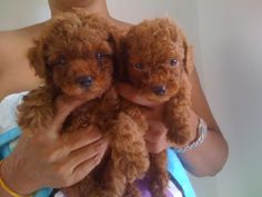 Pure RED BROWN Colour Short Leg Toy Poodle - Cheras