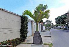 A Palmeira Garrafa pertence à família Arecaceae, nativa das Ilhas Mascarenhas, perene, de crescimento lento, com 3-5 metros de altura e muito ornamental....