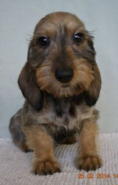 Sweet mother of MARY! Funny Dachshund, Dachshund Puppies, Weenie Dogs, Dachshund Love, Cute Puppies, Cute Dogs, Dogs And Puppies, Dachshunds, Daschund