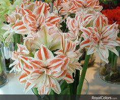 #RoyalColors, #Amaryllis #royalcolors .com #Floral #Flower #Bloom #Beautiful #Amazing #bulbs #keukenhof #netherlands