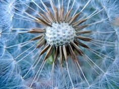 Dandelion with amazing rotational symmetry x [OC] Rotational Symmetry, Life Is Like, Shape Patterns, Natural Wonders, Macro Photography, Amazing Nature, High Quality Images, Mother Nature, Close Up