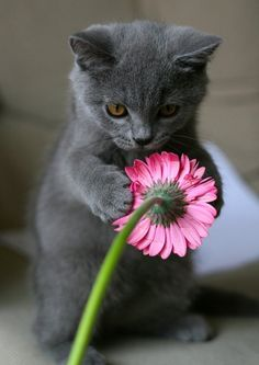Pretty grey cat with pink flower