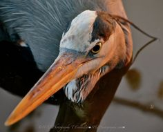 Streamzoo photo - Great Blue Heron @frankibabi