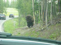 Yellowstone Bull Bison