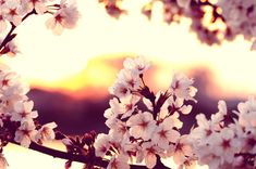 Image result for cherry blossoms falling at sunset and moths