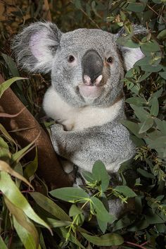 **Cute Koala
