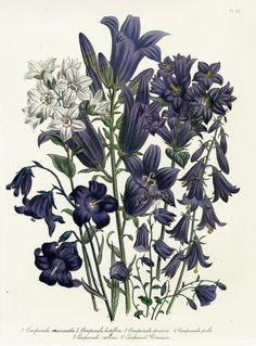 Antique botanical print - Campanula macrantha - Campanula speciosa - Campanula lactiflora etc. From The Ladies Flower Garden of Perennials by Jane Webb Loudon