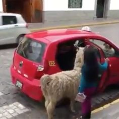 Taking the family Alpaca for a drive 😂 - Love it - Babycan Funny Animal Memes, Cute Funny Animals, Funny Animal Pictures, Cute Baby Animals, Animals And Pets, Cute Cats, Funny Cute, Alpaca Funny, Cute Alpaca