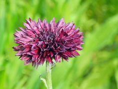 【セントーレア】 和名:ヤグルマギク(矢車菊) 別名:ヤグルマソウ(矢車草) 英名:Corn flower  地中海沿岸原産の一年草で、明治の中頃に渡来しています。 野生種は青花の一重咲きですが、園芸品種は殆ど八重咲きで花色も青・紫・紅・ピンク・白などあり、それぞれに濃淡もあるのでとてもカラフルです。  和名の矢車菊の矢車は鯉幟の天辺の矢車から来ていて、ユキノシタ科の矢車草は葉の形を矢車に見立てたものです。  属名のCentaureaはギリシア神話にでてくる半人半馬のケンタウロス族のケイローンが傷を負ったときに、この草花で傷を治したという話から来ていて、種小名のcyanusは藍色の意で花色に由来しています。  キク目 Asterales キク科 Asteraceae ヤグルマギク属 Centaurea ヤグルマギク種 C. cyanus 学名:Centaurea cyanus