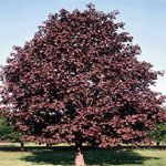 Royal Red Norway Maple~Purple-green foliage all summer with leaves turning to a dark maroon or bronze in the fall. Want for new yard! Acer, Garden On A Hill, Royal Red, Shade Trees, Beautiful Gardens, Garden Landscaping, Planting Flowers, Images, Yard