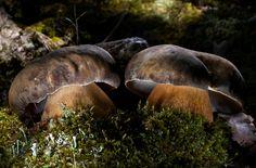 Queen Bolete mushroom (Boletus aereus), Florina, Greece photo gallery by Agorastos Papatsanis.