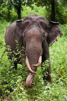 Large Africian Bull elephant