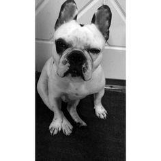 Bjarne the frenchie French Bulldog, Dogs, Animals, Animales, Bulldog Frances, Animaux, French Bulldog Shedding, Doggies, Animal
