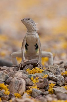 A Zebra-tailed Lizard (Callisaurus draconoides)in Organ Pipe Cactus National Monument, Arizona.