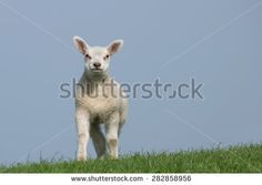 White lamb standing  on green dike with clear blue sky, facing the camera