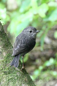New Zealand birds from forested, upland and mountainous areas Cute Birds, Pretty Birds, Beautiful Birds, Animals Beautiful, Cute Animals, New Zealand Houses, Cat Run, Robin Bird, Bird Wings