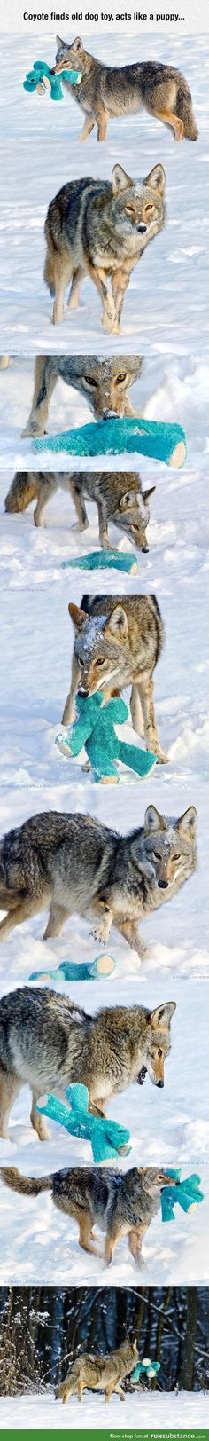 Even Coyotes like dog toys