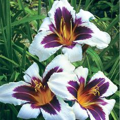 Wild Horses Reblooming Daylily