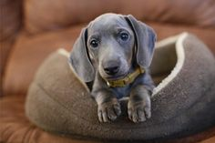 Dachshund...so darn cute. Never seen one this color.. looks like a weimer puppy..