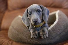 Grey Dachshund