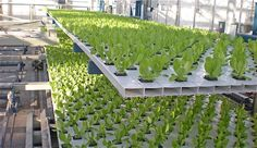 Vertical Farming, Going Up Instead Of Sideways Home Hydroponics, Hydroponic Grow Systems, Hydroponic Farming, Hydroponics System, Aeroponic System, Types Of Farming, Commercial Greenhouse, Indoor Greenhouse, Vertical Farming