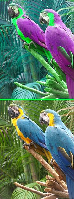 Fake - Purple and Green parrots - The original image of two macaws is on the bottom.