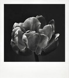 chriscolls: tulip
