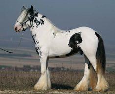 black tovero - Gypsy Horse/Tinker stallion Splash