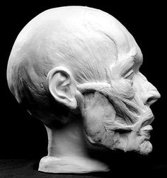Facial Écorché — Anatomical Artist Reference by Philippe Faraut.