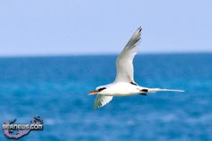 RT @ElbowBeach Return of the #Bermuda Longtail is first sign of spring Photo by @bernewsdotcom  http://wp.me/p1a3w5-1pU