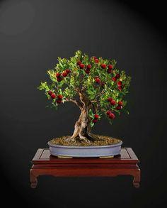 Lychee tree bonsai.