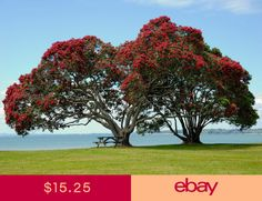 Photo about Pohutukawa Tree Taken in Auckland Cornwallis Beach, New Zealand. Image of blossom, floral, nature - 10741181 Wallpaper Original, Tree Wallpaper, Nature Wallpaper, Computer Wallpaper, Nature Landscape, Garden Maintenance, Red Tree, Plantation, Raised Garden Beds