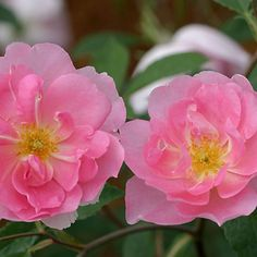 Cordelia™ - A lovely rose whose charming semi-double blooms are of silky pink and have a pleasing delicacy and elegance. 'Cordelia's' purest rose pink blooms are borne in sprays and each bloom pales individually to provide a lovely effect.