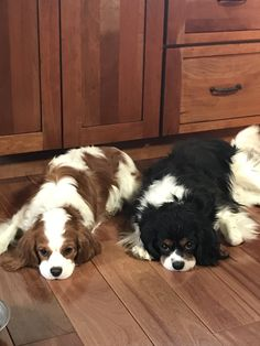 Quincy and Reggie. My beautiful cavalier king Charles spaniels.