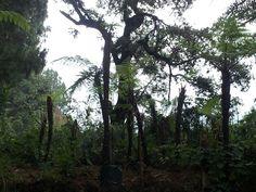 """Cientos de """"helechos frente de chivo"""" en la reserva de Monte Alto"""