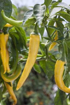 The Truth about Hot Peppers - Don't be afraid to add a little spicy heat to your meals this season by growing a few hot peppers in the garden or containers. It's easier than you think and many of the hot pepper myths floating around the garden ar. Healthy Fruits And Vegetables, Fruit And Veg, Cayenne Pepper Plant, Cayenne Peppers, Trees To Plant, Fruit Trees, Honey Health Benefits, Chilli Plant, Growing Peppers
