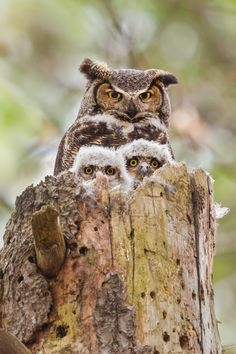 A Great Horned Owl ~ With Her Owlets. (Photo By: Daniel Cadieux.)