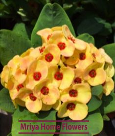 Crown of Thorns 'Golden Topaz' (Euphorbia milii hybrid) Clusters of sunny yellow flowers have orange and red highlights in the petals and bright orange hearts. Each flower cluster can reach across creating a stunning floral show when Euphorbia Milii, Euphorbia Plant, Unusual Flowers, Beautiful Flowers, Flowers Perennials, Planting Flowers, Crown Of Thorns Plant, Cactus, Climbing Flowers