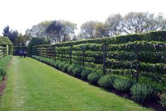 Hedges and espalier.  East Ruston Old Vicarage Garden | GardenVisit.com, the garden landscape guide