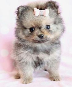 Pomsky puppy. I NEED THIS DOG! :)