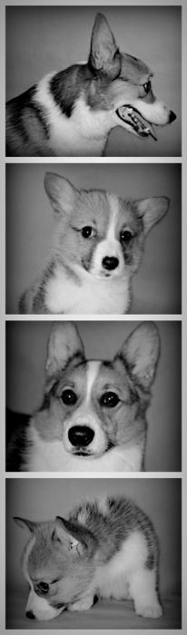 Corgi booth! - Best dogs ever!