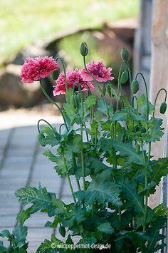 #Mohn, Pompons, gefüllter mohn, mohn mit rüschen, rosa mohn, naturfoto des tages, wildeschoenheiten.wordpress.com