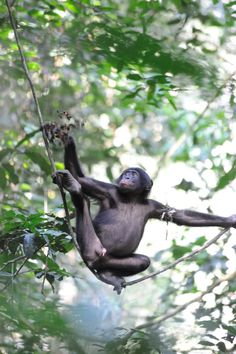 Chimps live in communities. These communities are composed of family groups of three to six individuals, totaling about 50 animals. Hierarchies are formed by the adult males of the community, which is led by one alpha (the highest) male. Adolescent females may move freely between communities, although territory is strictly patrolled and conflicts can occur between neighbors.