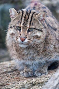 Дикие кошки: Азиатский рыбный кот