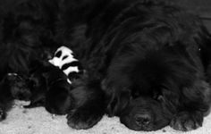 What a great Mom! I am always amazed how sweet newfies are with their litters and with sharing them to visitors
