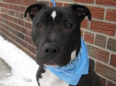SUPER URGENT 2/8/14  PUPPY** Mickey was adopted a few months ago. Sadly his owners didn't understand his puppy ways. Brklyn Ctr MICKEY A0979406 NEUTERED MALE  BLK/WHT  PIT MIX *BABY ALERT!!!  7 mos. Just a big goofy puppy, eager for exercise & love. House trainning, pleasant toward other dogs and listening to my handler. I can even sit on command!  I just need the right pet parents to patiently teach me positive pup behaviors. Do you think you could be the right mom or dad for me?