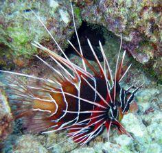 Peixe Leão ou Lionfish - conhecido também como peixe Escorpião devido aos espinhos venenosos . É pacífico , mesmo com esta aparência , com peixes do seu tamanho , mas devora qualquer outro que caiba em sua boca .